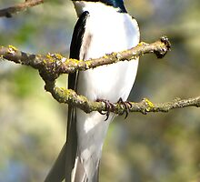 Meet Mr. Tree Swallow by Chuck Gardner