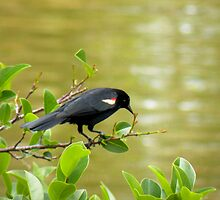 Red Wing Black Bird by Rosalie Scanlon