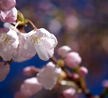 Cherry Tree Blossoms by taylor-mcbride