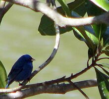 Indigo Bunting by DottieDees