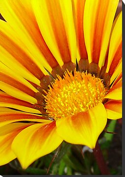 Orange and Rust Color Gazania Montezuma Macro by taiche