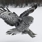 Great Grey owl hunting by wildlifephoto