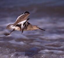 Willet in Flight by William C. Gladish