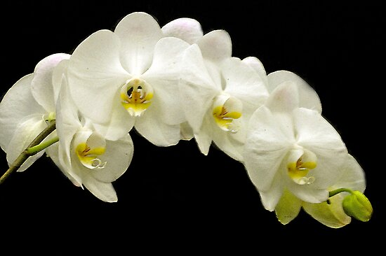 Orchids in a row by cherylc1