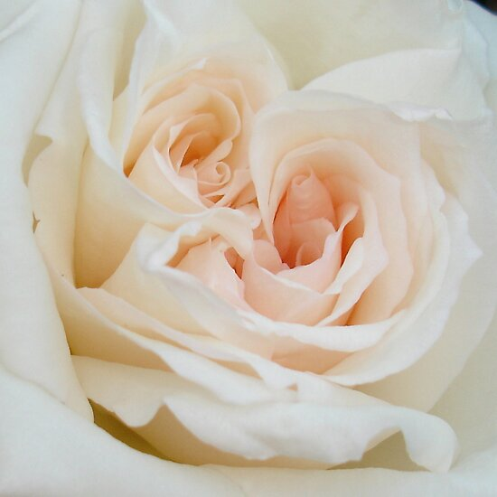 Close Up View Of A Beautiful White Rose. by taiche
