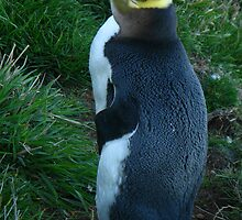 Hoiho, yellow eyed penguin by Karen Doidge