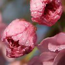 cherry blossum. by mark brown