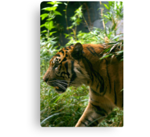 Sumatran Tiger paces before dinner Canvas Print