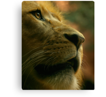 Lion close up waiting for food. Canvas Print