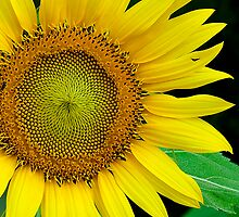 Sunflower and the green Leaf by Mukesh Srivastava
