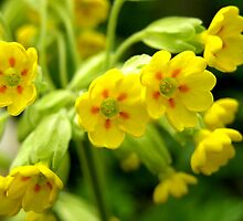 cowslips by Lindamell