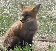 There goes my neighborhood (baby foxes) 01 by janetmarston
