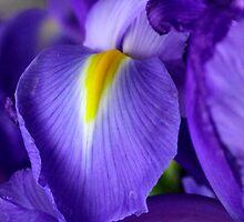 Iris III by Richard Keech