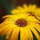 Yellow Daisy by Walter Colaiaco