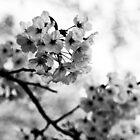 Sakura shadows by Christophe Mespoulede