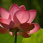 Backlit Lotus by Robert George