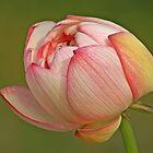 Shapely Lotus Bloom by Robert George