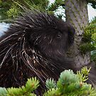 Porcupine Hug by William C. Gladish