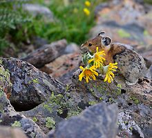 Pika Carrying Wildflowers by William C. Gladish