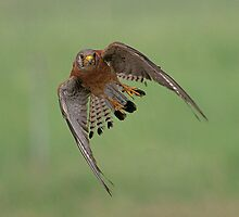 Lesser Kestrel in Flight by David Clark