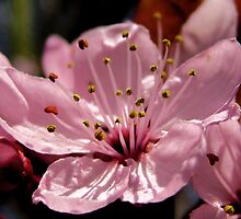 Cherry Blossom by karolina