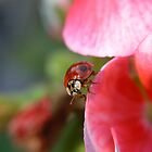 Ladybug II by kr1sta