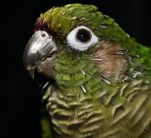 Roxy the Conure by ksoni94