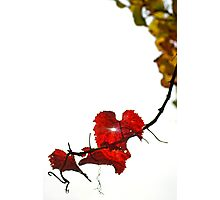 Vine Photographic Print