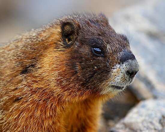 Marmot Portrait by William C. Gladish