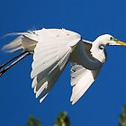 GREAT WHITE Egret wing flap by kellimays