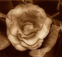 Coffee Camelia by Adrian Kent
