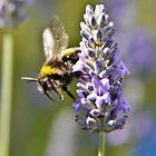 Bumblebee Dive by Craig Shadbolt