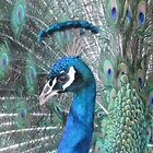 peacock by wilde-child