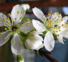 Pear Blossums by Bellavista2