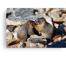 Marmot Babies Keeping Secrets Canvas Print