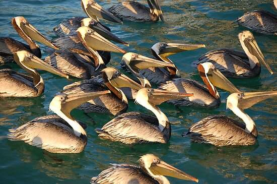 Pelican Convention by Ralph Angelillo