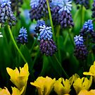 Tulips and Muscari by Alison Cornford-Matheson