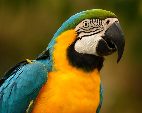 Blue & Yellow Macaw Portrait by William C. Gladish