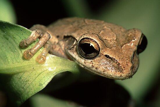 Tree Frog Portrait by William C. Gladish