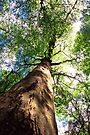 Old-Growth Beech Tree by William C. Gladish