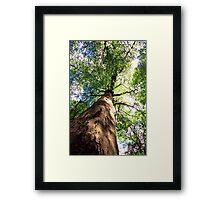 Old-Growth Beech Tree Framed Print