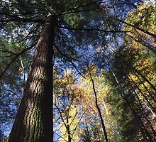 Old-Growth Hemlock by William C. Gladish