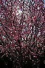 Cherry Blossoms by Evita