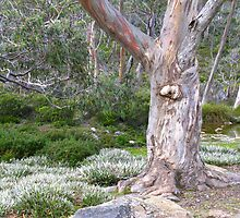 Snow Gum amongst Alpine Grass by Marilyn Harris