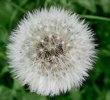 My favorite dandelion by AllAve