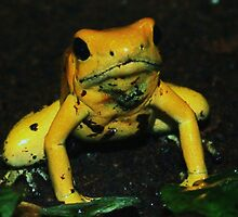 Golden poison dart frog by jackiefagan