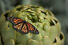 artichoke and monarch by Kimberly Palmer