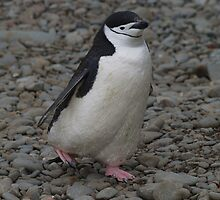 Chinstrap Penguin at Orcadas Base - South Orkney Islands by flash62au