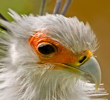Secretary Bird by tarnyacox