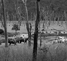 Mustering Cattle by Rachel Wyllie